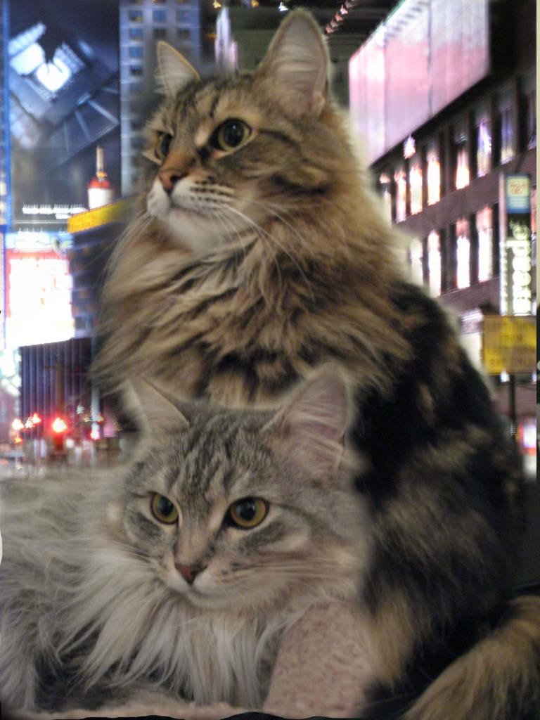 NYCcats