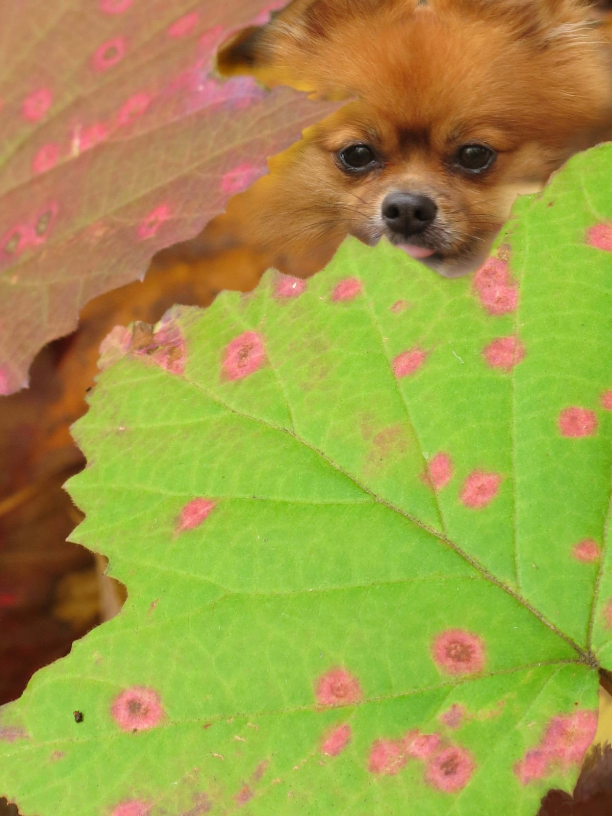 Rusty, a Pomeranian dog, peeks out between pink-spotted leaves in the forest off Comfort Road in Ithaca, New York.