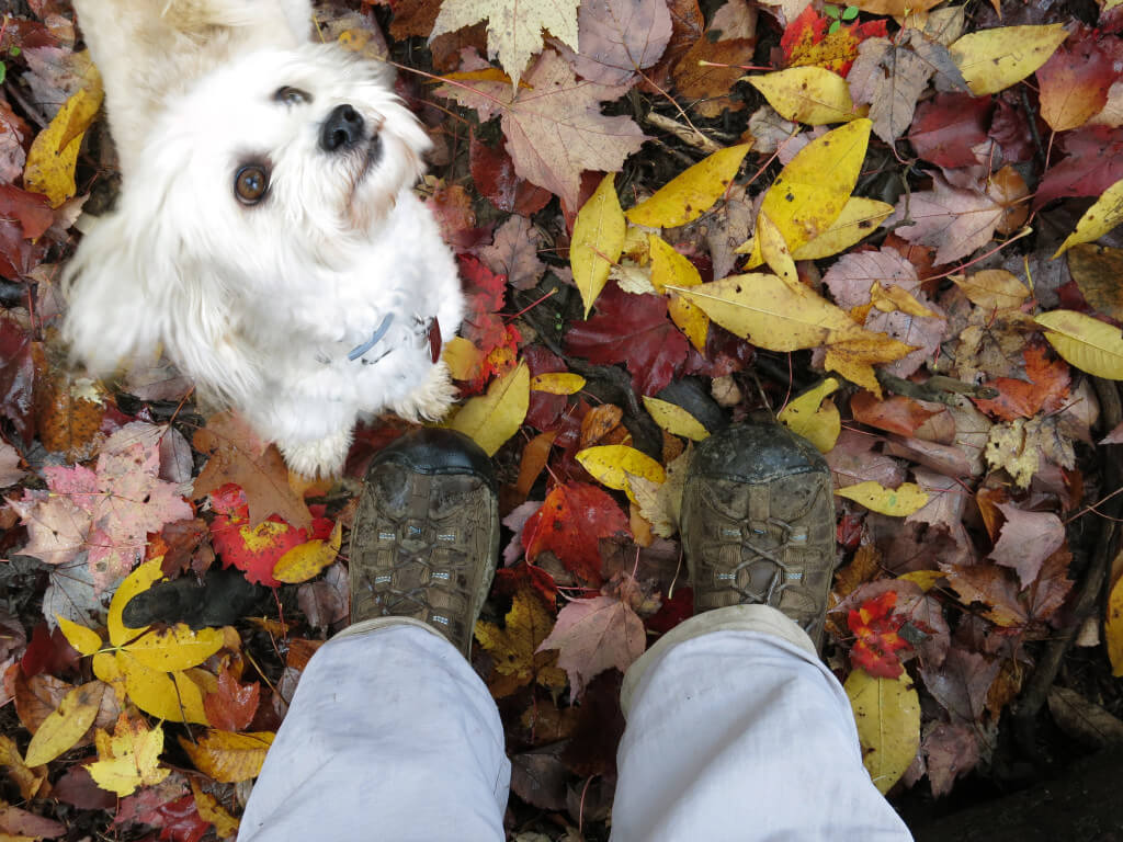 Suki, Robin Botie's Havanese dog, looks up as Robin photographs the fallen leaves at their feet