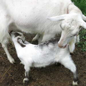 Goat nursing in Ithaca, New York, by Robin Botie