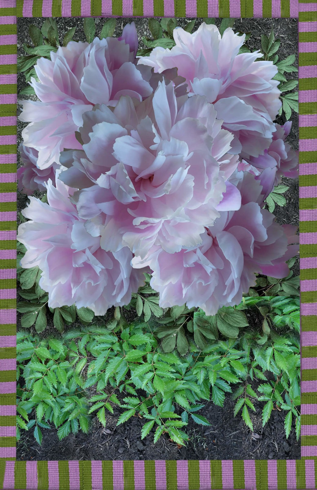 Robin Botie of Ithaca, New York, photoshops a digital montage of pink peonies after a week of craving pink.
