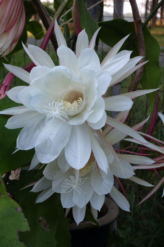 Robin Botie of Ithaca, New York, photographs a nightblooming cactus plant, epipyllum oxypetalum, Queen of the Night.
