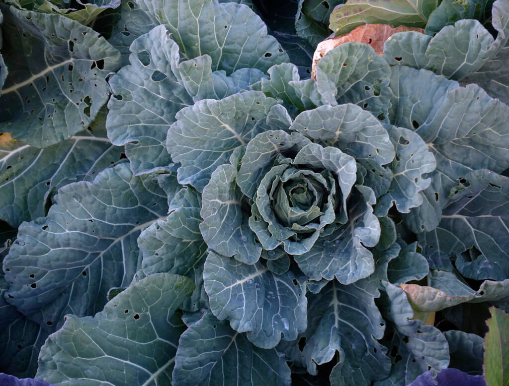 Robin Botie of Ithaca, New York, photoshops a cabbage in winter.