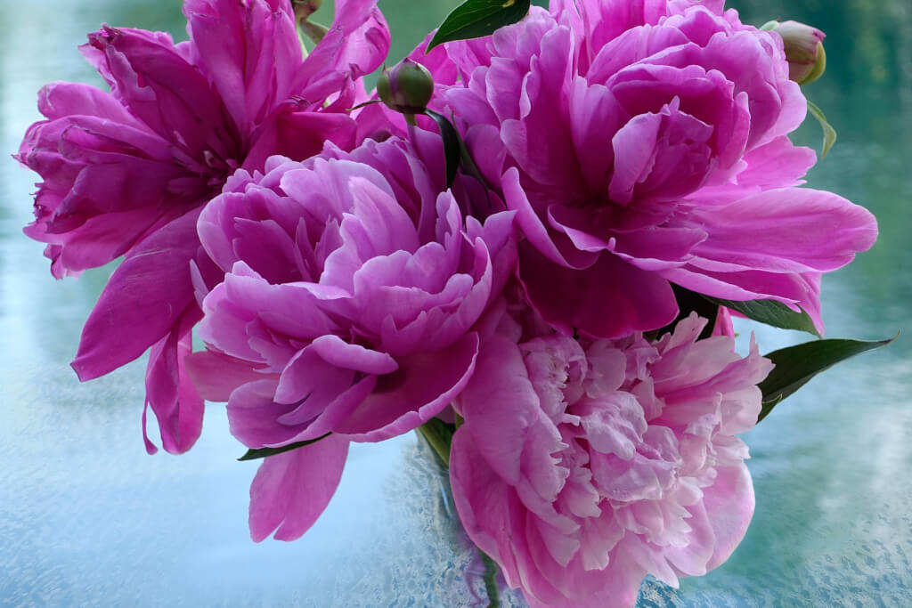 Robin Botie of Ithaca, New York photoshops peonies that herald in summer, reminding her that life is precious.