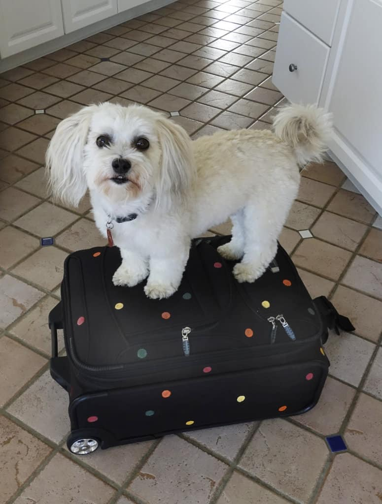 Robin Botie of Ithaca, New York, photographs her Havanese dog standing on top of her suitcase painted in a pre-travel leaving home ritual.