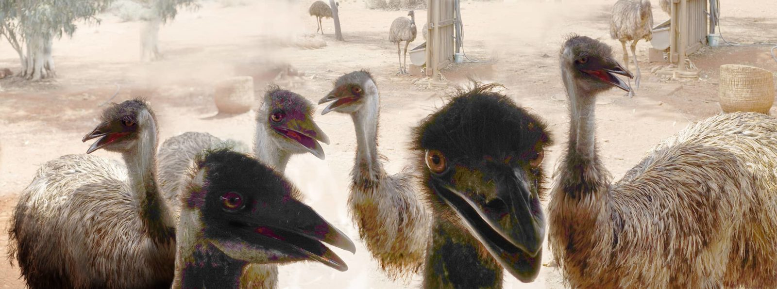 Robin Botie of Ithaca, New York, photoshops emus in Australia.
