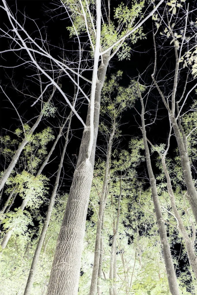 Robin Botie of ithaca, New York, photoshops a negative image of her ash trees that are dying of emerald ash borer beetles.