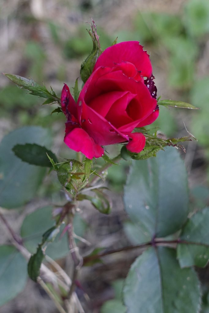 Finding Resilience Robin Botie of Ithaca, New York, photographs a bruised rose to illustrate resilience.