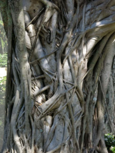 A Banyan tree in Florida with roots wrapped around its trunk photographed by Robin Botie of Ithaca, New York.